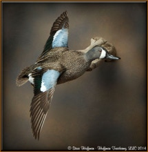 Blue Wing Teal Drake Flying Wall Taxidermy Mount