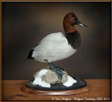 Canvasback Drake Standing Taxidermy Mount