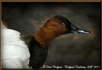 Canvasback Drake Flying Taxidermy Wall Mount