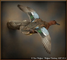 Cinnamon Teal Drake Flying Wall Taxidermy Mount