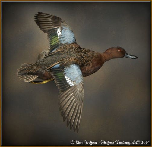 Taxidermy Drake and Hen Pair of Cinnamon Teal Ducks Mount Flying Captive Bred