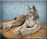 Alaskan Lynx Taxidermy Mount