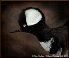 Hooded Merganser Drake Landing Taxidermy Mount