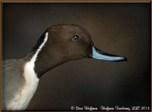 Northern Pintail Drake Flying Taxidermy Mount