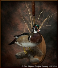 Wood Duck Drake Standing Taxidermy Wall Mount