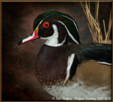 Wood Duck Drake Standing Taxidermy Wall Mount by Huffman Taxidermy